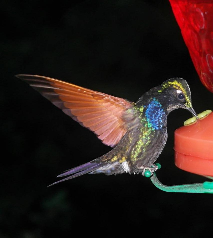 UNAM va al rescate del colibrí con creación de jardines
