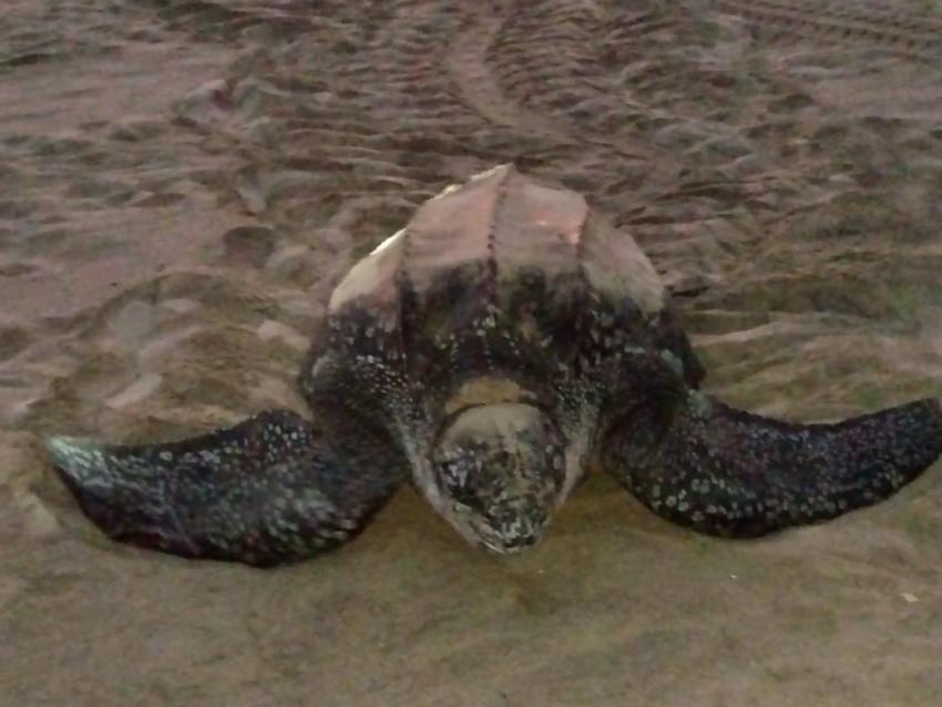 Llega la tortuga Laúd a Playa de Morro Ayuta, Oaxaca